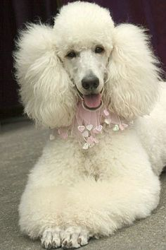 Poodle -- Sitting pretty - Photo by Mary-Ella Bowles