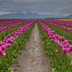 Love tulips...