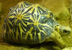 This turtles shell displays a various range of textures. Each texture in its self gives a different showing of cross hatching and density. The delicate pattern in the surface is a repeated wave of lines and bumps. Grace Rm 5