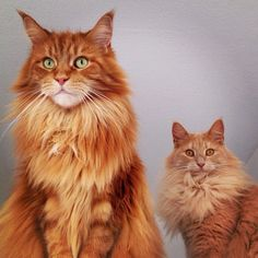 """The cat to the left is a Maine coon and the one to the right is a Norwegian forest cat."""