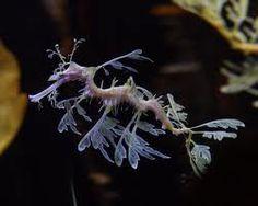 Dragón de mar foliáceo (Phycodurus eques) ~ Naturaleza Insólita