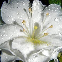flowersgardenlove:  imgend  ~~ Azalea ~~.,.,.) Beautiful
