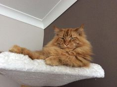 Maine Coon, red solid (d). Coonflakes Pecan Pie