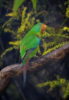 Far South Coast locals are being asked to look for the elusive swift parrot and also to collect the feathers of wetland birds. Colourful Birds, Exotic Birds, Parakeets, Parrots, Beautiful Birds, Animals Beautiful, Hope Is The Thing With Feathers, Australian Birds, Bird Perch
