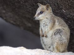 Black-Footed Rock Wallaby (Petrogale Lateralis), Magnetic Island, Queensland, Australia