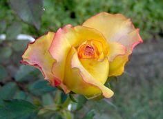 rosa amarela - Pesquisa Google