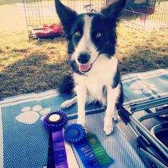 My little agility pup. 1st place today in standard agility and finished up her AKC novice title.