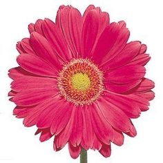 Hot Pink Fuchsia Gerbera Daisy Wholesale Flowers (80 stems)