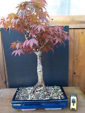 bonsai di acero rosso h 55 cm vis...