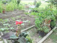 Okra bed, & tomatoes