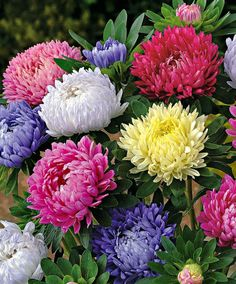 China aster   China Asters - I adore these beautiful flowers.