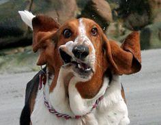 basset hound running  :)