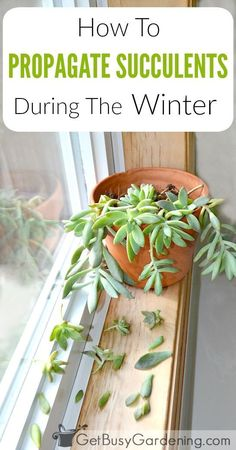 Summer is the best time to propagate succulents, but can you propagate succulents in winter? Try this easy method for propagating succulents in winter. succulents indoors Propagating Succulents In Winter: How To Propagate Succulents In Winter Propogate Succulents, Growing Succulents, Cacti And Succulents, Growing Plants, Planting Succulents, Succulent Care, Succulent Gardening, Garden Plants, Indoor Plants