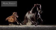 Running in the Family by Mark Harvey  Shetlands, Photography, Art, Galloping, Horses, Mother & Foal, Uk Horse Photographer, Refined Equine Portraiture.