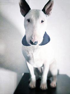 Fran, my own Bull Terrier.