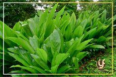 2 Curcuma longa Rhizomes, Turmeric Rhizomes For Growing Grow Turmeric, Turmeric Plant, Ginger Plant, Turmeric Curcumin, Tropical Landscaping, Tropical Garden, Tropical Plants, Green Garden, Ayurveda