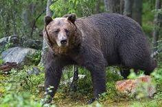 barnamedve - Google-keresés Brown Bear, Google, Animals, Animales, Animaux, Animal, Animais