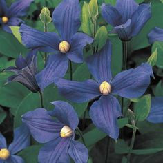 Durandii Clematis (Clematis x durandii ) at Wayside Gardens