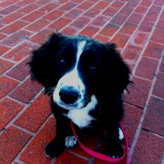 Apparently she's a sprollie. A springer spaniel and border collie :)