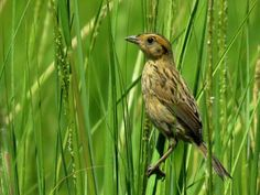 "A tiny sparrow that lives in salt marshes from Maine to Virginia could be the new ""poster child"" for sea level rise."