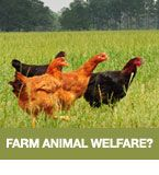 An inside look at farm animal welfare.  www.globalanimalpartnership.org