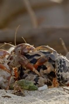 Watch Orderly Hermit Crabs Line Up Biggest To Smallest, Swap Shells In 'Conga Line'