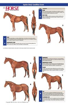 "Henneke Body Condition Scale     Don Henneke, PhD, developed his namesake method for determining horses' body conditions in 1983, while conducting his doctoral research at Texas A University on the influence of energy stored as body fat on mares' reproductive performance. ""At the time, there was no way to accurately classify horses based on their body fat content,"" says Henneke. ""Every horse owner had a definition of fat or thin""."