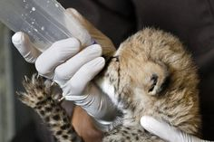 A one-month-old female cheetah cub, that was delivered via a rare cesarean section, gets her tiny claws stuck on cheetah keeper Gil Myers' glove as she is bottle fed milk at the National Zoo in Washington, Wednesday, May 23, 2012.
