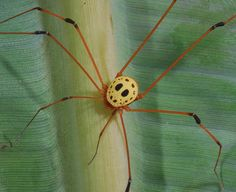 """Jason's mask"" Harvestman Spider. Woah. That is crazy!"