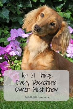 21 Things About Dachshunds Every Owner Should Know