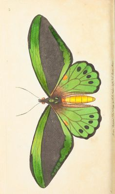 Imperial Trojan, butterfly, v.1 - The naturalist's miscellany, or Coloured figures of natural objects - Biodiversity Heritage Library