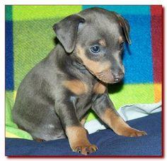 toy king blue female miniature pinscher puppy