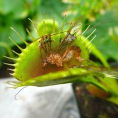 This guy had a rough week. #carnivorousplants #carnivorousplantsofinstagram #venusflytrap #dionaea #dionaeamuscipula by hungry_plants