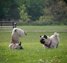 Pug That grass was sticking up.did you see DAT? Silly Dogs, Funny Dogs, Funny Animals, Cute Animals, Cute Pug Pictures, Baby Pugs, Pretty Animals, Pug Puppies, Cute Pugs
