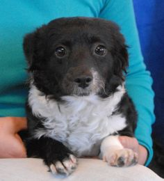 Boo Boo is a tender-hearted little panda bear with a quiet nature and she debuts for adoption today at Nevada SPCA (www.nevadaspca.org).  She is a Toy mix (blend of many toy breeds) with a curly coat, 1 year young, a spayed girl, debuting for adoption today at Nevada SPCA (www.nevadaspca.org).  Boo Boo gives you gentle doggie kisses on your chin when she is feeling relaxed and contented.  She is good with other dogs and best suited for a calm home environment where she will continue to…