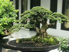 Boxwood Bonsai, Bonsai Plants, Bonsai Garden, Garden Trees, Modern Japanese Garden, Japanese Flowers, Asian Plants, Jade Bonsai, Bonsai Forest