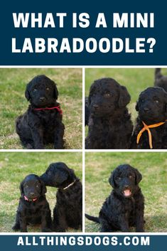 What is a Mini Labradoodle? First bred to be smaller, companion versions of their standard sized guard dog cousins, the Mini Labradoodle is super trainable and make great service animals. Read our breed guide to learn more about this tiny dog. #whatisaminilabradoodle #minilabradoodle #miniaturelabradoodle Miniature Dog Breeds, Tiny Dog, Guard Dog, Labradoodle, Dog Design, Cousins, Dog Love, Pup, Facts