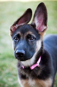 Love how the pink collar brings out the pink in her massive ears.