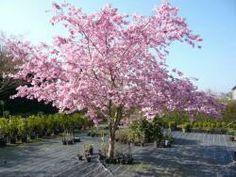 Zierkirsche Accolade (Großstrauch) H: 3-4 m B: 2-3 m Licht: Sonne bis Halbschatten Blütezeit: April-Mai