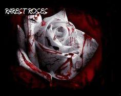 Rarest Rose in the World   RAREST ROSES