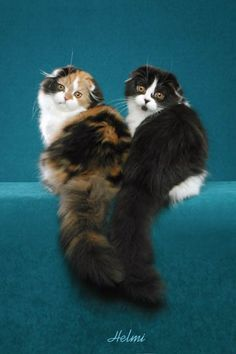 Scottish Fold catTap the link to check out great cat products we have for your little feline friend!