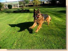 German Shepherd Breeds, German Shepherds, Schaefer, Doggies, Audi, Animals, Beautiful, Long Length Hair, Little Puppies