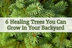 Healing trees are not some ancient superstition, they are real and probably in your backyard right now. Here are 6 trees with powerful medicinal properties.