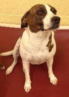★TO BE DESTROYED 12/30/14★•TN•THIS IS A SWEET GIRL!!★Dalmatian Breed:Beagle Age: Adult Gender: Female Shelter Information: Elizabethton Carter County Animal Shelter 135 Sycamore Shoals Dr  Elizabeth ton, TN Shelter dog ID: D2014472 Contacts: Phone: 423-547-6359 Name: April Jones email: animalshelter@cartercountytn.gov About Dalmatian:
