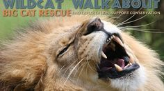 Join us on Saturday, October 1st, 2016 for our Wildcat Walkabout. This is a charity event to raise money for projects benefiting big cats in the wild including tigers, lions, Canada lynx, jaguars, and clouded leopards. Get your tickets before they sell out!!