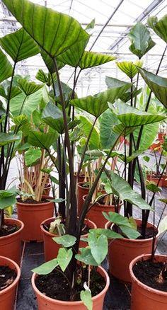 """Colocasia esculenta """"Tea cup"""" Een zeer aparte Colocasia. Het donker gekleurde blad staat in een driehoekige vorm sterk omhoog. Hierdoor vorm het blad als het ware een bekertje waar water in blijft staan. Hier dank de plant dan ook zijn naam aan. De bladstelen zijn lang en zeer donker van kleur. Nieuwe scheuten komen aan korte uitlopers. Een bijzondere verschijning in de tuin. Niet winterhard."""