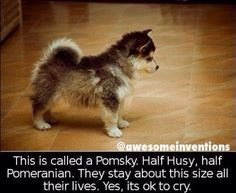 Pomsky. Luna needs a brother.
