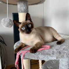What Games and Exercise Siamese Cat like to do and play? Siamese Cat Breeders, Siamese Cats, Cat Tree Designs, Large Cat Tree, Cool Cat Trees, Kinds Of Cats, Little Kitty, Old Cats, Cat Furniture