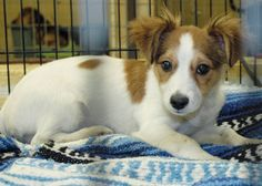 Sweet Pea is an adoptable Papillon Dog in Ripley, TN. Sweet Pea is simply ADORABLE!! She looks like she may be a Papillon mix. She has beautiful, feathery ears and tail. If you are interested in adopt...