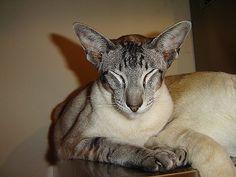 Me...big ears...I am Siamese...if you please...